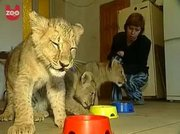 Both male and female Feline white lion,  Cheetah cubs and tiger cubs